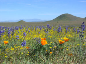 Organic Facialist is inspired by the natural beauty of San Luis Obispo, especially its poppies and lupines!
